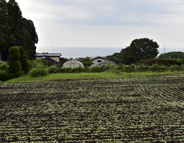 階上(はしかみ)町の蕎麦畑-